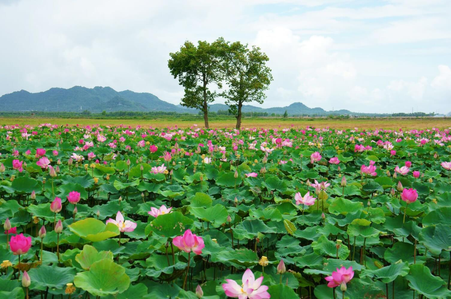 Champ de Lotus - Vietnam